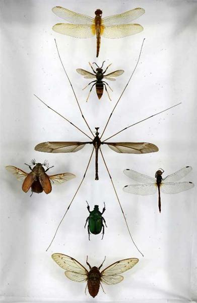 """和甲虫、蜻蜓、蜜蜂放在一起的""""巨无霸""""蚊子(中)"""